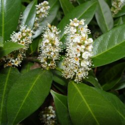Cherry Laurel Hedge (Prunus laurocerasus) EVERGREEN + FAST GROWING + HARDY 15-30cm Trees / Shrubs**FREE UK MAINLAND DELIVERY + FREE 100% TREE WARRANTY**