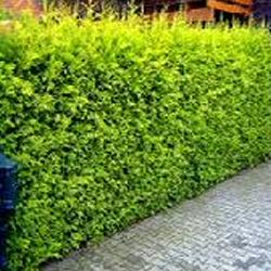 Leylandii Gold Hedging (Cupressus leylandii) Supplied Height 40-60cm Hedge Tree  **FREE UK MAINLAND DELIVERY + FREE 100% TREE WARRANTY**