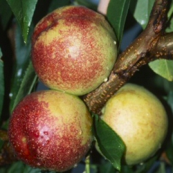 Lord Napier Nectarine Tree, LARGE FRUITS + VERY JUICY + EARLY FRUIT  + FREESTONE, 2-3 years Old, Delivered 1.50-2.00 metres **FREE UK MAINLAND DELIVERY + FREE 100% TREE WARRANTY**