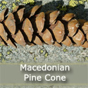 Macedonian Pine Tree (Pinus Peuce)  10-20cm Trees, FROST + WIND TOLERANT + ADAPTABLE + POOR SOILS + DISEASE RESISTANT **FREE UK MAINLAND DELIVERY + FREE 100% TREE WARRANTY**