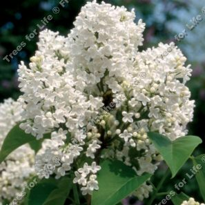 "<font color=""red"">DELIVERED AUGUST 2019</font> Madame Lemoine Lilac Tree  / shrub (Syringa vulgaris 'Madame Lemoine') Supplied height 0.80-1.2 m, 7-15L Pot, 2-3 Years old,  **FREE UK MAINLAND DELIVERY + FREE 100% TREE WARRANTY**"