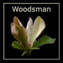 Magnolia Woodsman Tree,  Supplied 1.25 - 2.0 metres, 12 L Pot, SHORT + FRAGRANT + MULTI COLOURED FLOWERS **FREE UK MAINLAND DELIVERY + FREE TREE WARRANTY **