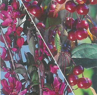 Royal Beauty Weeping Crab Apple Tree (Malus 'Royal Beauty') Supplied 1.25 - 1.75 m 12L Pot, 2-3 years old,  CLAY TOLERANT + ATTRACTS WILDLIFE **FREE UK MAINLAND DELIVERY + FREE 100% TREE WARRANTY**
