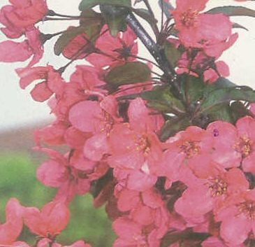 <font color=&quot;red&quot;>DELIVERED AUGUST 2017</font> Prairie Fire Crab Apple Tree (Malus Prairie Fire) Supplied height 1.5 to 1.7 metres in a 12 litre container **FREE UK MAINLAND DELIVERY + FREE 100% TREE WARRANTY**