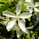 Transitoria Crab Apple Tree (Malus 'Transitoria') Supplied height 1.2 - 2.00 m in a 7-15 litre container **FREE UK MAINLAND DELIVERY + FREE 100% TREE WARRANTY**