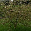 <font color=&quot;red&quot;>DELIVERED AUGUST 2017</font> Transitoria Crab Apple Tree (Malus 'Transitoria') Supplied height 1.5 - 2.40 m in a 10-15 litre container **FREE UK MAINLAND DELIVERY + FREE 100% TREE WARRANTY**