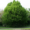 Bare Root Common Hornbeam Tree (Carpinus betulus) Supplied 1.00-2.00m ***PRICE INCLUDES FREE UK MAINLAND DELIVERY + 3 YEAR TREE WARRANTY***