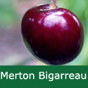 B Bare Root Merton Bigarreau Cherry Tree, 1-2 metres tall, 1-2 years old,  (EATING + FRUIT IN JULY + RELIABLE + LARGE CROP ) **FREE UK MAINLAND DELIVERY + FREE 100% TREE WARRANTY**