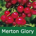 B Bare Root Merton Glory Cherry Tree, 1-2 metres tall, 1-2 years old,  (EATING + EARLY +FRUIT IN JULY + LARGE FRUIT + SWEET + COMPACT + CANKER RESISTANT) **FREE UK MAINLAND DELIVERY + FREE 100% TREE WARRANTY**