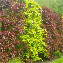 Purple Copper Beech Hedging Tree,  20-40cm Trees LOW MAINTENANCE + NATIVE + DRY + EXPOSED + WINDBREAK + PURPLE LEAVES **FREE UK MAINLAND DELIVERY + FREE 100% TREE WARRANTY**