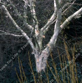 <font color=&quot;red&quot;>DELIVERED AUGUST 2019</font> Moonbeam Birch Tree (Betula utilis 'Moonbeam') Supplied height 1.2 to 1.8 metres in a 12 litre container**FREE UK MAINLAND DELIVERY + FREE 100% TREE WARRANTY**