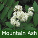 Mountain Ash or Rowan Tree (Sorbus Aucuparia) 1.5m-2.50m 5-12 litre container, 2+ years old, HARDY +RED FRUIT + COASTAL + EXPOSED **FREE UK MAINLAND DELIVERY + FREE 100% TREE WARRANTY**