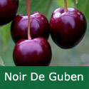A Bare Root Noir De Guben Cherry Tree, 1-2 metres tall, 1-2 years old,  (EATING + FRUIT IN JULY + LARGE FRUITS + RESISTS CRACKING) **FREE UK MAINLAND DELIVERY + FREE 100% TREE WARRANTY**