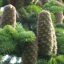 Nordmann or Caucasian Fir Trees (Abies nordmanianna) Height 10 - 30cm trees, EVERGREEN **FREE UK MAINLAND DELIVERY + FREE 100% TREE WARRANTY**