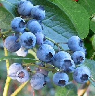 Blueberry Bush Northland Pack contains 3 Litre Containerised Plants **FREE UK MAINLAND DELIVERY + FREE 100% TREE WARRANTY**