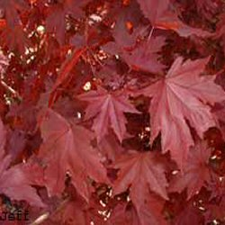 Crimson King Norway Maple Tree (Acer platanoides `Crimson King`) Supplied height 1.5 to 2.4 metres in a 12 litre container **PRICE INCLUDES FREE UK MAINLAND DELIVERY**