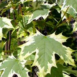 Norway Maple Drummondii Tree (Acer platanoides `Drummondii`) Supplied height 1.5 to 2.4 metres in a 12 litre container **PRICE INCLUDES FREE UK MAINLAND DELIVERY**