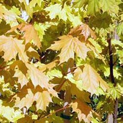 Norway Maple Princeton Gold Tree (Acer platanoides `Princeton Gold`) Supplied Height 1.5 to 2.4 metres in a 12 litre container **PRICE INCLUDES FREE UK MAINLAND DELIVERY**