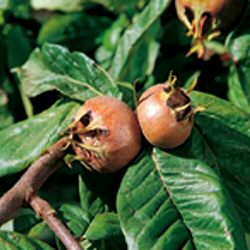 Nottingham Medlar Tree (Mespilus germanica `Nottingham`) Supplied height 1.50-2.00 m, 2-3 Years Old **FREE UK MAINLAND DELIVERY + FREE TREE WARRANTY**