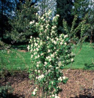 Obelisk Snowy Mespilus Tree (Amelanchier alnifolia 'Obelisk') Supplied height 100 to 240cm supplied 5-20 L Pot WHITE FLOWERS + HARDY + MOIST TOLERANT + ACID SOIL + PURPLE/BLACK FRUITS **FREE UK MAINLAND DELIVERY + FREE 100% TREE WARRANTY**