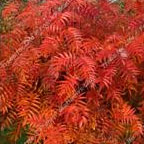 Olympic Flame Mountain Ash or Rowan Tree (Sorbus dodong 'Olympic Flame') Supplied height 1.00-2.00m, 2-3 Years old **FREE UK MAINLAND DELIVERY + FREE 100% TREE WARRANTY**