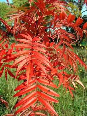 Buy Olympic Flame Mountain Ash Or Rowan Tree Online Free
