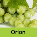 Orion grape vine