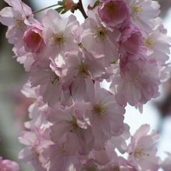 Ornamental Cherry Tree (Prunus `Accolade`) Supplied height 1.5 - 2.4m in a 12 litre container**FREE UK MAINLAND DELIVERY + FREE 100% TREE WARRANTY**