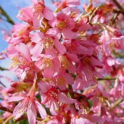 Ornamental Cherry Tree (Prunus `Okame`) Supplied height 1.5 to 2.0m in a 12 litre container, 2-3 Years Old**FREE UK MAINLAND DELIVERY + FREE 100% TREE WARRANTY**