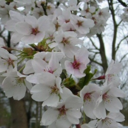 Ornamental Cherry Tree (Prunus `Pandora`) Supplied height 1.5 - 1.7m in a 12 litre container**FREE UK MAINLAND DELIVERY + FREE 100% TREE WARRANTY**