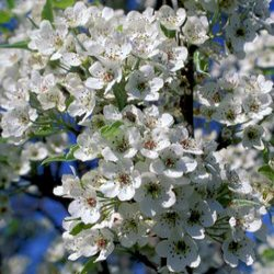 Chanticleer Ornamental Pear Tree (Pyrus calleryana Chanticleer) Supplied height 1.5 to 2.0 metres in a 7-12 litre container **FREE UK MAINLAND DELIVERY + FREE 100% TREE WARRANTY**