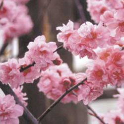 <font color=&quot;red&quot;>DELIVERED AUGUST 2018</font> Blireana Ornamental Plum Tree (Prunus x blireana) Supplied height 1.5 to 1.7 metres in a 12 litre container **FREE UK MAINLAND DELIVERY + FREE 100% TREE WARRANTY**