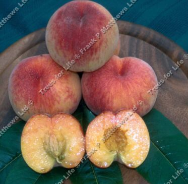 Rochester Peach Tree SELF FERTILE  LARGE FRUIT + AVOIDS FROST, Supplied at 1.5-2.0, 2-3 Years Old, **FREE UK MAINLAND DELIVERY + FREE 100% TREE WARRANTY**