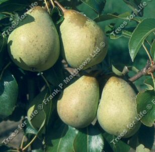 Beth Pear Tree (C3),  SMALL + SWEET + JUICY, 2-3 Years Old, Delivered 1.5-2.00m Tall, **FREE UK MAINLAND DELIVERY + FREE 100% TREE WARRANTY**