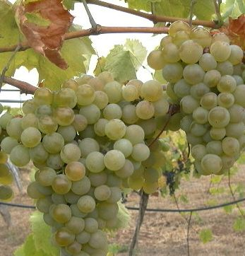 <font color=&quot;red&quot;>DELIVERED AUGUST 2018</font> Phoenix White Outdoor Grape Vine. HEAVY YIELDING, DESSERT + WINE + HARDY + UK SUITABLE + MILDEW RESISTANT white Grape, 3 Litre Pot, 2-3 years old **FREE UK MAINLAND DELIVERY + FREE 100% TREE WARRANTY**