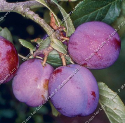 Guinevere Plum Tree (C3) Eating, Supplied height 1.5m-2.0m, 2-3 years old, 12L pot, LARGE HARVEST + FREE UK MAINLAND DELIVERY + 100% TREE WARRANTY