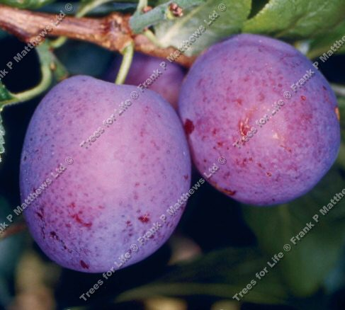 Herman Plum Tree (C2), Eating, Fruits Mid July. Supplied Height 1.5m-2.0m, 2-3 Years Old, 12L pot, SELF FERTILE + EASY STONE REMOVAL + FREE UK MAINLAND DELIVERY + 100% TREE WARRANTY