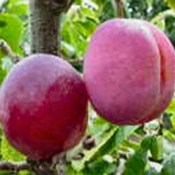Opal Plum Tree (C3), Eating, Fruits Late July, Supplied Height 1.5m-2.0m, 2-3 Years Old, 12L pot, SELF FERTILE + RELIABLE FREE UK MAINLAND DELIVERY + 100% TREE WARRANTY
