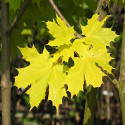 Norway Maple Princeton Gold Tree (Acer platanoides 'Princeton Gold') Supplied Height 150 to 240cm in a 12-litre container **PRICE INCLUDES FREE UK MAINLAND DELIVERY**