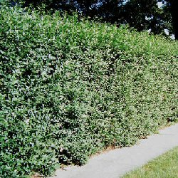 Privet Hedging (ligustrum vulgare) 20-40cm **FREE UK MAINLAND DELIVERY + FREE 100% TREE WARRANTY**
