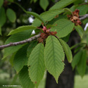 Wild Cherry (Gean) Tree (Prunus avium `Plena`) Supplied height 1.5m and 2.20m in a 12 litre container**FREE UK MAINLAND DELIVERY + FREE 100% TREE WARRANTY**