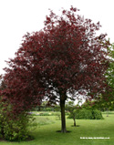 DELIVERED AUGUST 2021 Cherry or Myrobalan Plum Tree Prunus cerasifera Nigra 1.2 - 2.4m in a 7-12L Pot  **FREE UK MAINLAND DELIVERY + FREE 100% TREE WARRANTY**