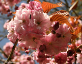 Flowering Cherry Tree Pink Perfection, 1.5-2.4m, 5-15L  Pot, LONG LASTING FLOWERS + SMALL TREE + LOW MAINTENANCE  + AWARD **FREE UK MAINLAND DELIVERY + FREE 100% TREE WARRANTY**