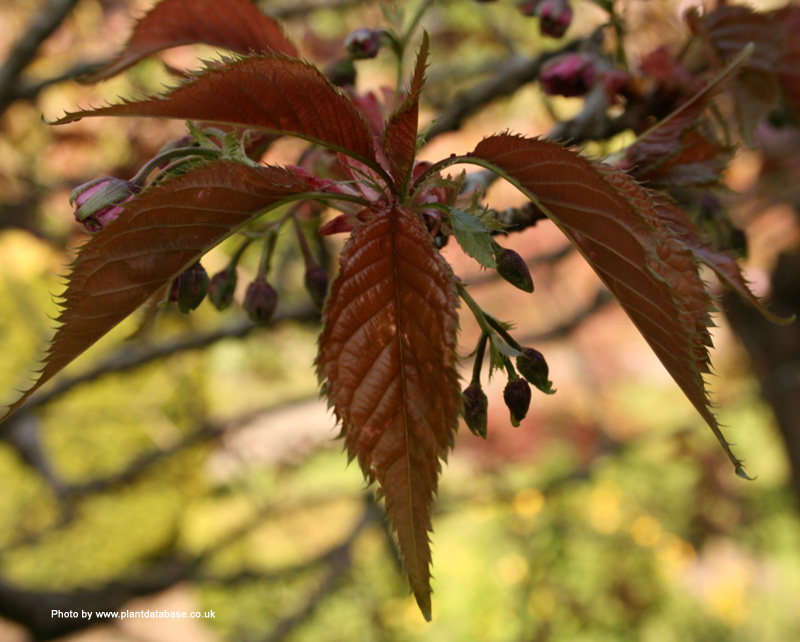the split cherry tree answer The themes of split cherry tree are that:1: time's are always changing and the people along with it2: nothing is impossible3: try new things and.