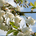 Snow Goose Flowering Cherry Tree (Prunus 'Snow Goose') Supplied height 1.5 - 1.6m in a 12 litre container **FREE UK MAINLAND DELIVERY + FREE 100% TREE WARRANTY**