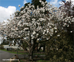 Great White Cherry Tree (Prunus `Tai Haku`) Supplied height 1.5 - 1.8m in a 12L Container**FREE UK MAINLAND DELIVERY + FREE 100% TREE WARRANTY**