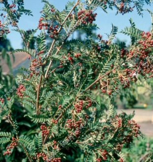 Pseudovilmorinii Mountain Ash or Rowan Tree (Sorbus 'Pseudovilmorinii') Supplied height 1.25 metres in a 12 litre container **FREE UK MAINLAND DELIVERY + FREE 100% TREE WARRANTY**