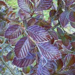 Purple Beech Tree (Fagus Sylvatica Purpurea ) 20-40 cm Trees**FREE UK MAINLAND DELIVERY + FREE 100% TREE WARRANTY**