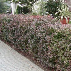 Purple-leaved Barberry Hedging (Berberis thunbergii Atropurpurea) 15-30cm hedging shrubs LOW MAINTENANCE + TOUGH + COASTAL + EASY TO GROW + DRY + EXPOSED **FREE UK MAINLAND DELIVERY + FREE 100% TREE WARRANTY**
