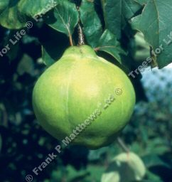Champion Quince Tree, Cooking - Supplied Height 1.25m-2.0m, 2-3 Years Old, 12L pot, GOOD CROP + SELF FERTILE + FREE UK MAINLAND DELIVERY + 100% TREE WARRANTY